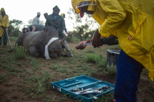 Des rangers du ranch de John Hume coupent la corne d'un rhinocéros anesthésié pour le protéger des braconniers, le 3 février 2016 à Klerksdorp dans le nord-ouest de l'Afrique du Sud © AFP/Archives MUJAHID SAFODIEN
