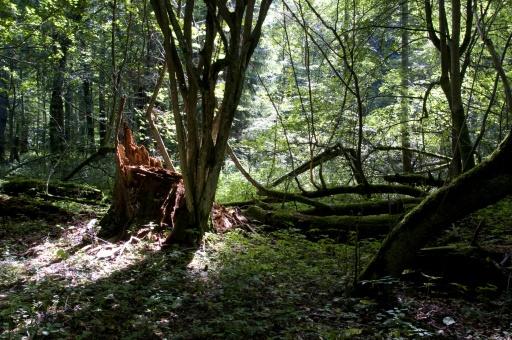 forêt primaire d'Europe