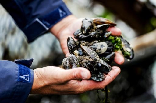 Mortalité des moules: le gouvernement annonce un plan d'urgence de 4 millions d'euros © ANP/AFP/Archives ROBIN VAN LONKHUIJSEN
