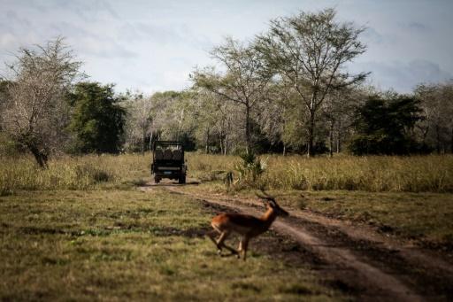 Un impala devant une jeep qui emmène des touristes en safari le 28 mai 2016 au Gorongosa National Park à Gorongosa © AFP JOHN WESSELS