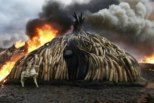 massacre des éléphants