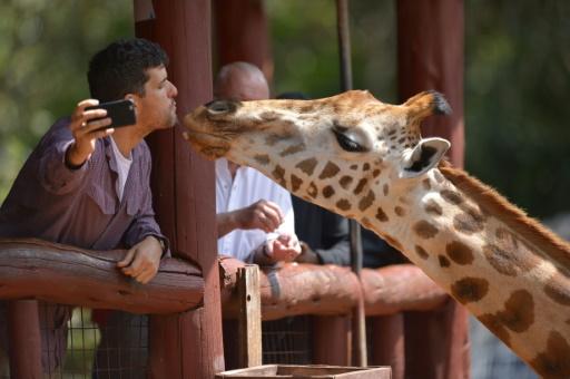 afrique girafes