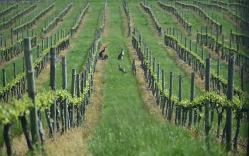 vigne australienne