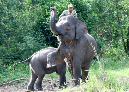 sumatra elephant