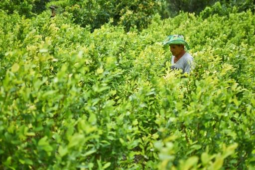 Cultivateurs de coca