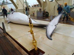 chase a la baleine