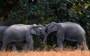 inde elephants