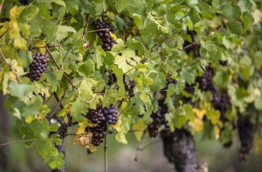 pesticides vins