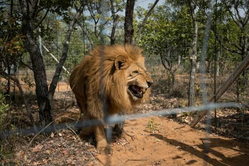 lion braconnier