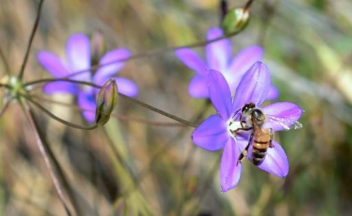 neonicotinoides