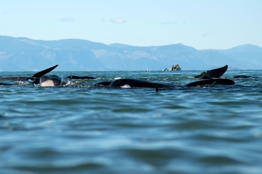 viande de dauphin