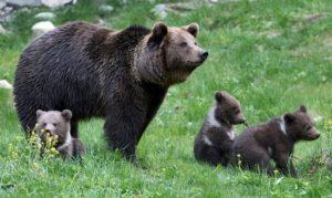reintroduction de l'ours