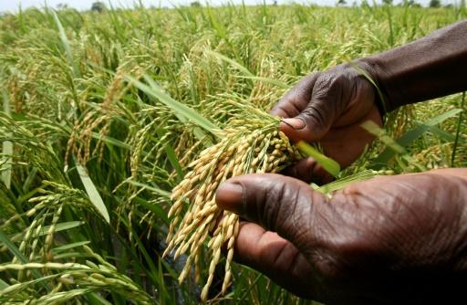 riz africain