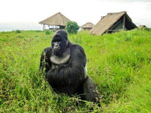 bebes gorilles