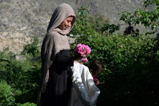 roses afghanistan