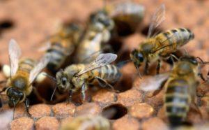 abeilles sauvees