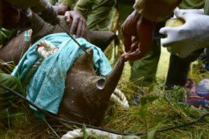mort des rhinos