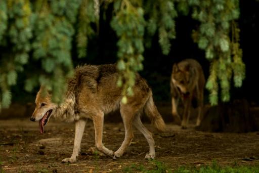 presence du loup