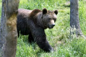 reintroduction de l'ours