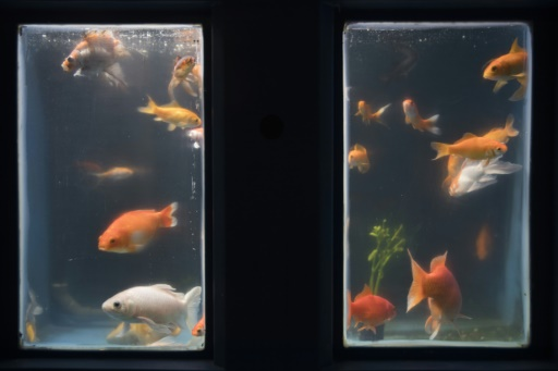 poissons rouges abandonnés
