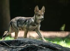 loup hybride