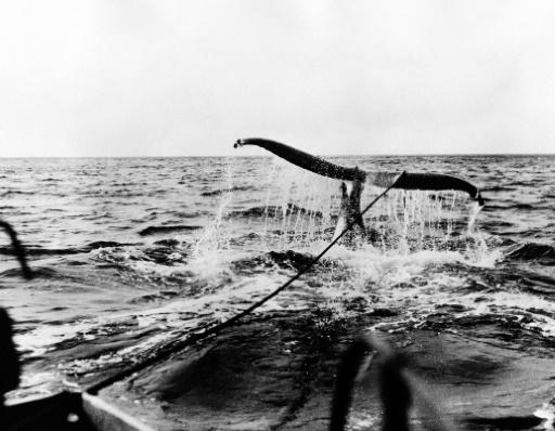 vhasse a la baleine
