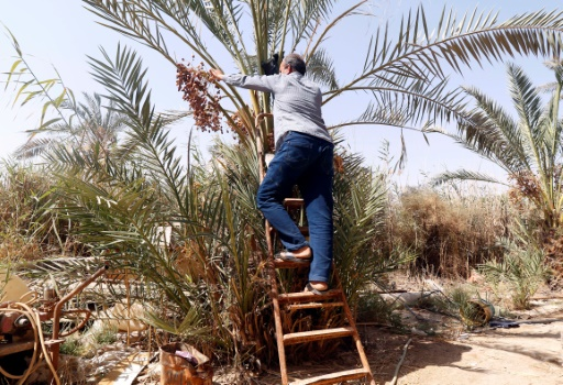irak palmier
