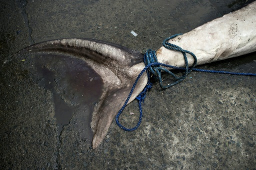 peche de requins
