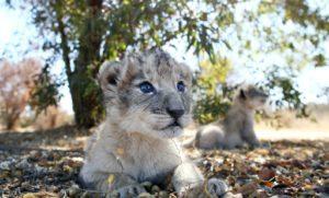 lions-eprouvettes