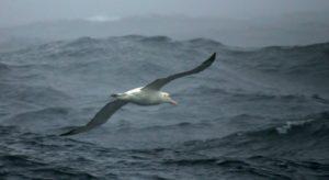 albatros souris