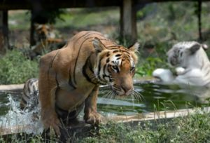 tigre tigres especes sous especes genetique