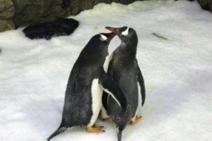 pingouins males