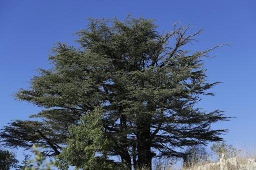 cedr e liban embleme changement climatique