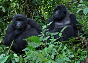 gorilles des montagnes uicn