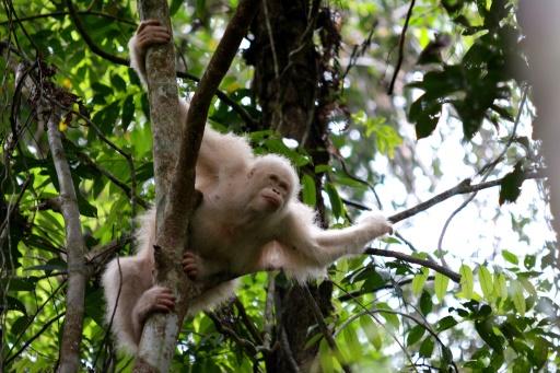 orang outang albinos