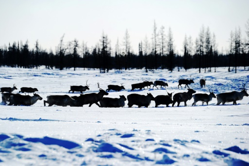caribous algues rouges arctique plus chaud 2018