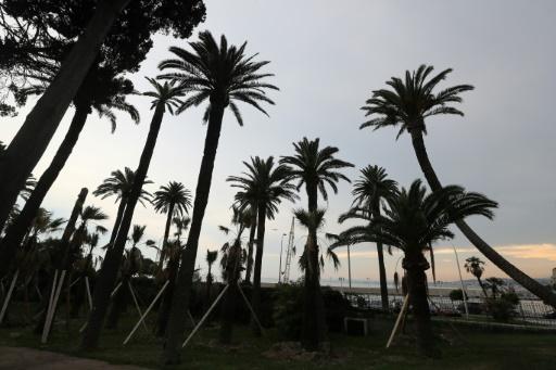 sauver les palmiers litoral français