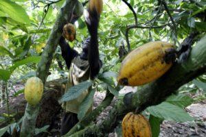 deforestation cacao