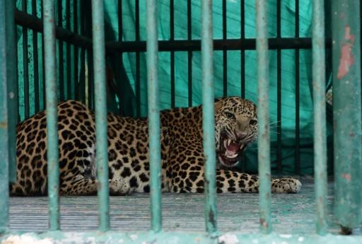 inde leopard