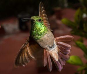 colibris mexico jardins