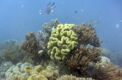 coraux grand barriere plus resistants