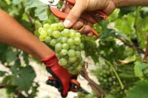 viticulteurs grande bretagne changement climatique vins