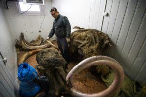 mammouths siberie ivoire de glace
