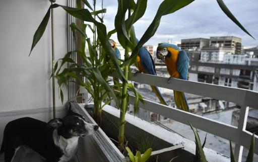 perroquets de czaracas