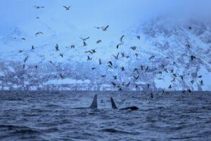 orques migration nord climat