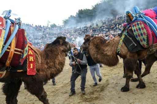 turquie combat chameaux