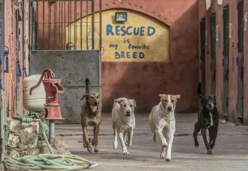 chiens errants le caire rue
