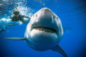 requins blancs plongeurs hawai