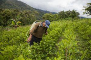 bolivie coca pesticides