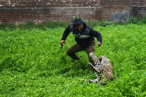 leopard ville inde peur